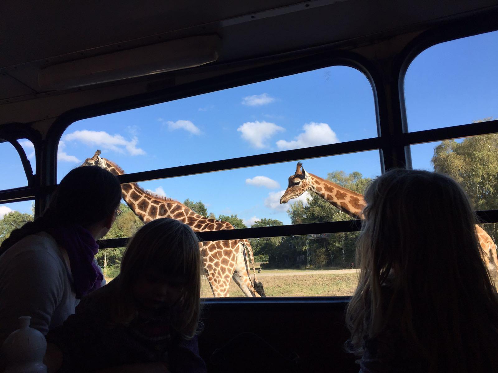 """alt=""""Sicht auf Giraffen aus einem Safaribus heraus, der gerade durch den Serengeti-Park fährt"""""""