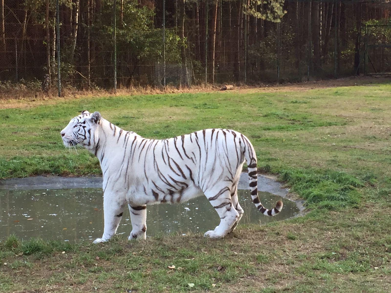 """alt=""""Weißer Tiger im Serengeti-Park"""""""