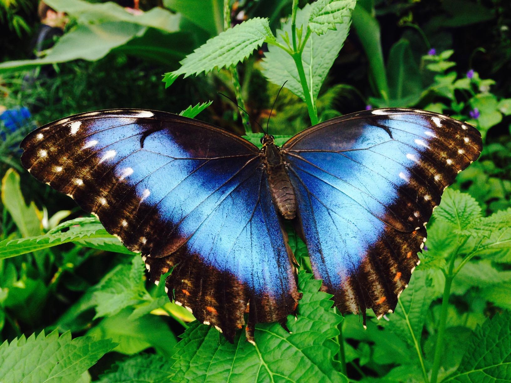 Blauer Schmetterling aus dem Schmetterlingshaus im Maxipark in Hamm