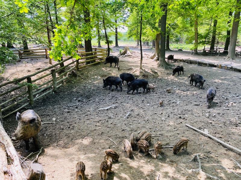 Wildwald Vosswinkel Wildschweine