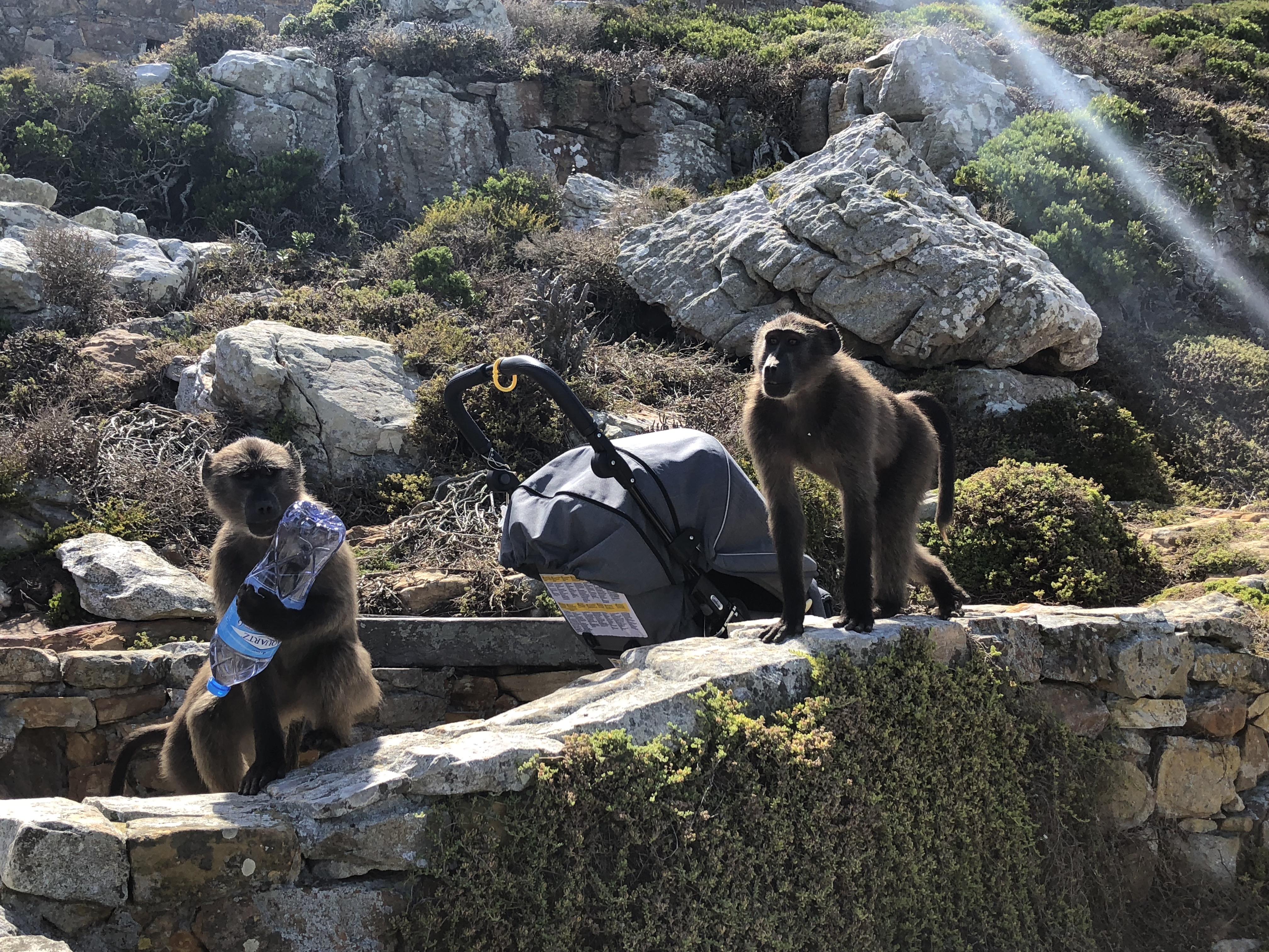 Die dreisten Affen von Cape Point