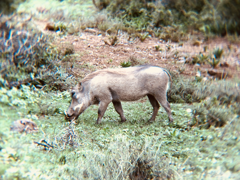 Warzenschwein im Addo Elephant Park, Südafrika