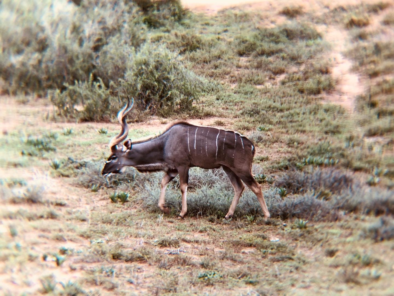 Kudu im Addo, Südafrika