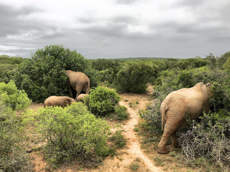 Elefantenfamilie im Addo Park, Südafrika