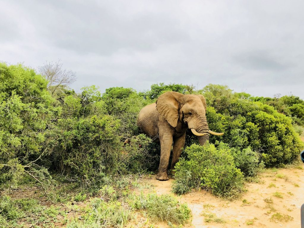 Elefantenbulle im Addo Elephant Park, Südafrika