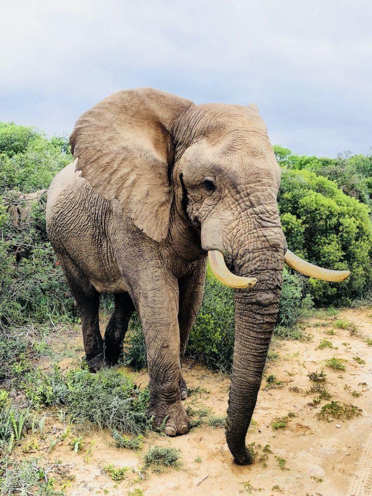 Elefantenbulle, Südafrika