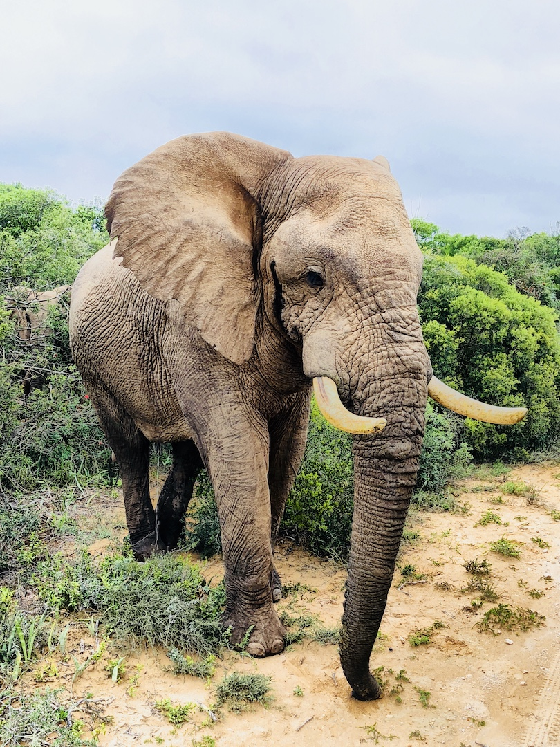 Nahaufnahme Elefantenbulle im Addo Park, Südafrika