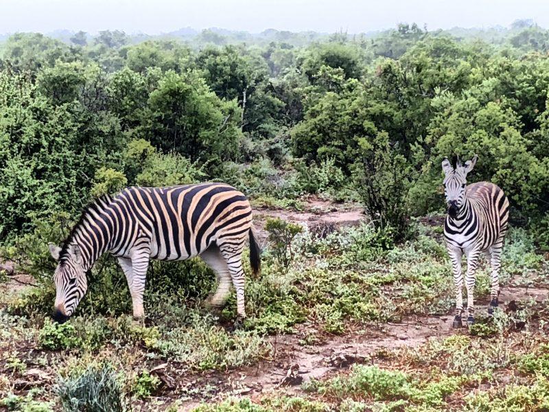 Zebras im Schotia Park, Südafrika