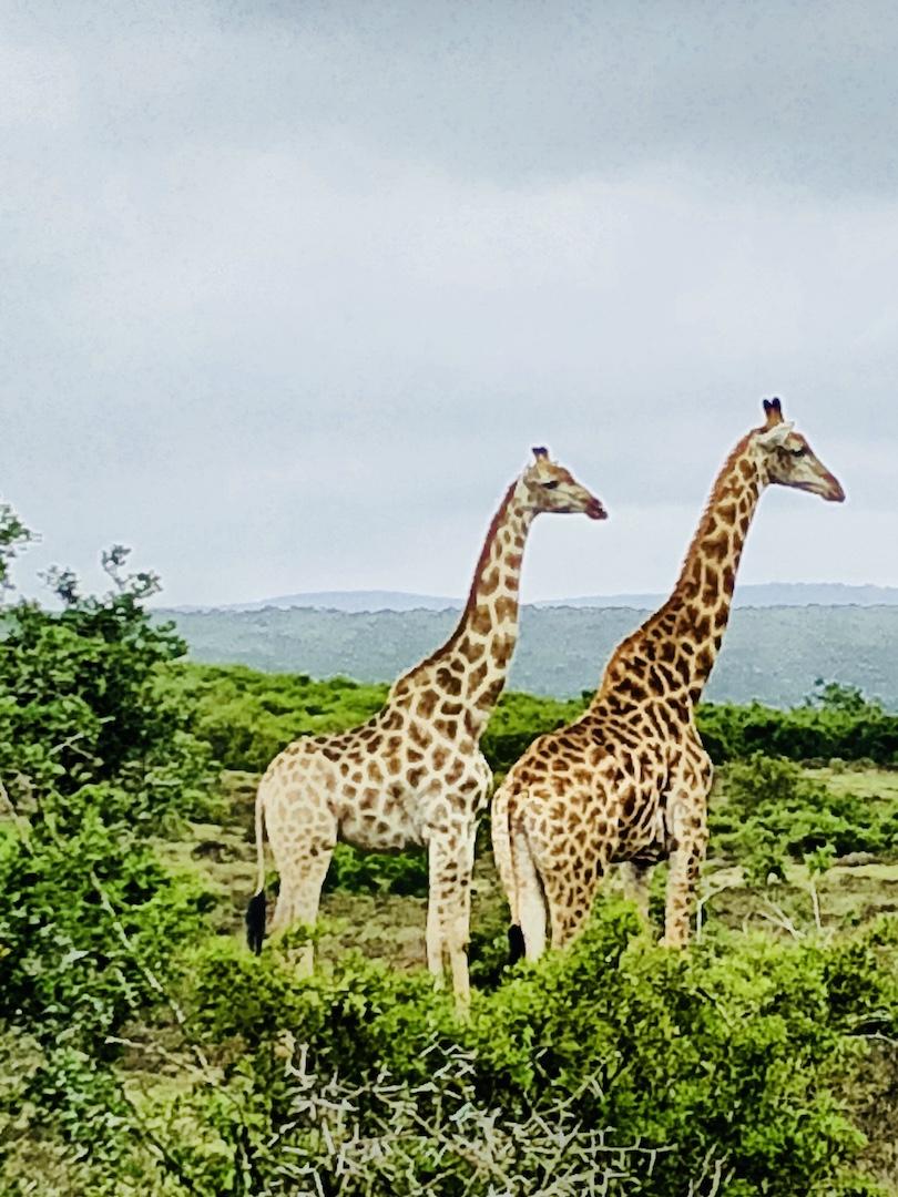 Giraffen im Schotia Park, Südafrika
