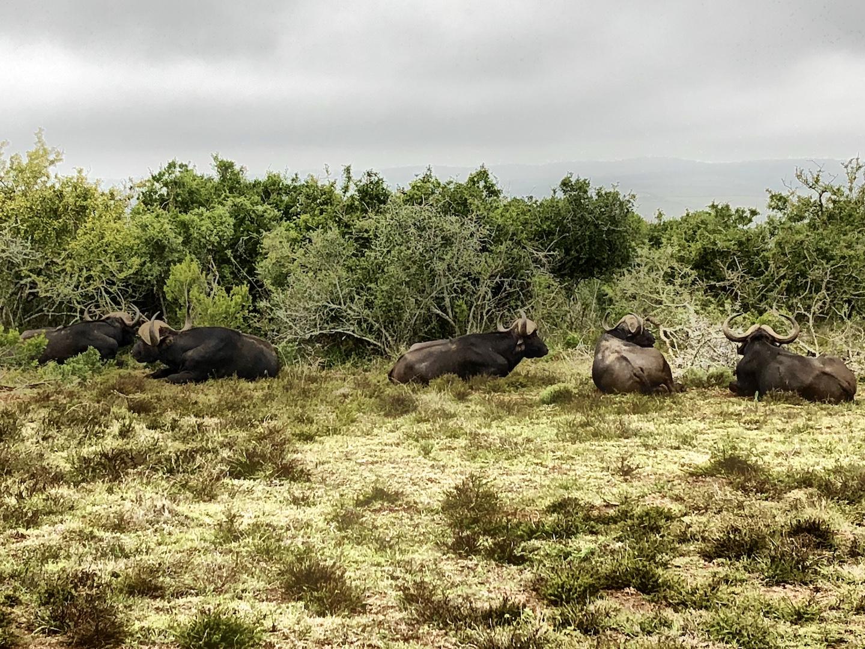 Büffel im Schotts Park, Südafrika