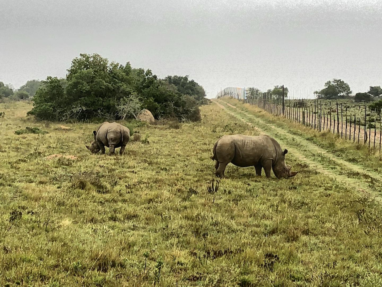 Nashörner im Schotia Park, Südafrika
