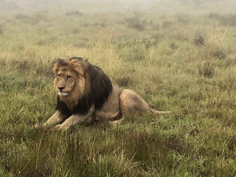Löwe im Schotia Park, Südafrika