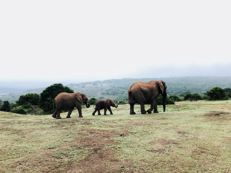 Elefantenfamilie im Schotia Park, Südafrika