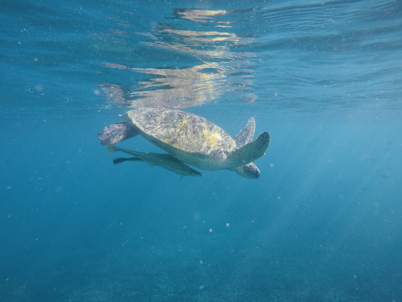 Wasserschildkröte in der Shark Bay, Koh Tao, Thailand