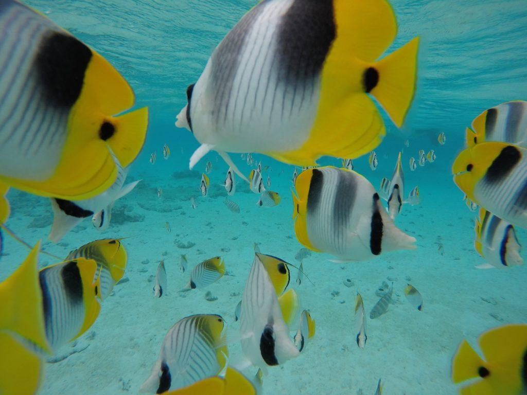 Bunte Fische bei Maupiti
