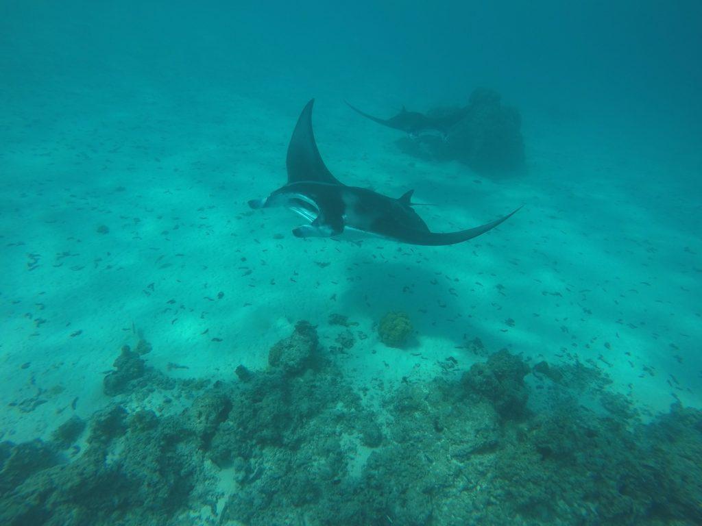 Mantas im Wasser bei Maupiti