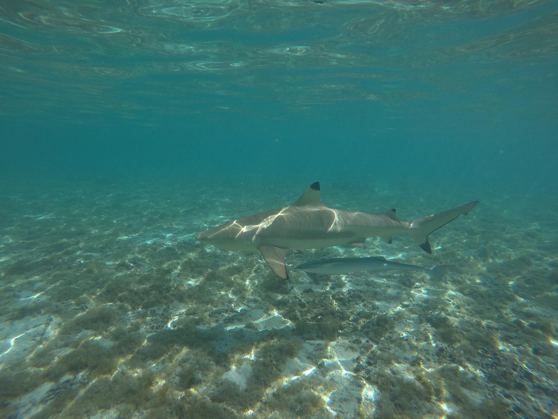 Haie auf Bora Bora, Südsee