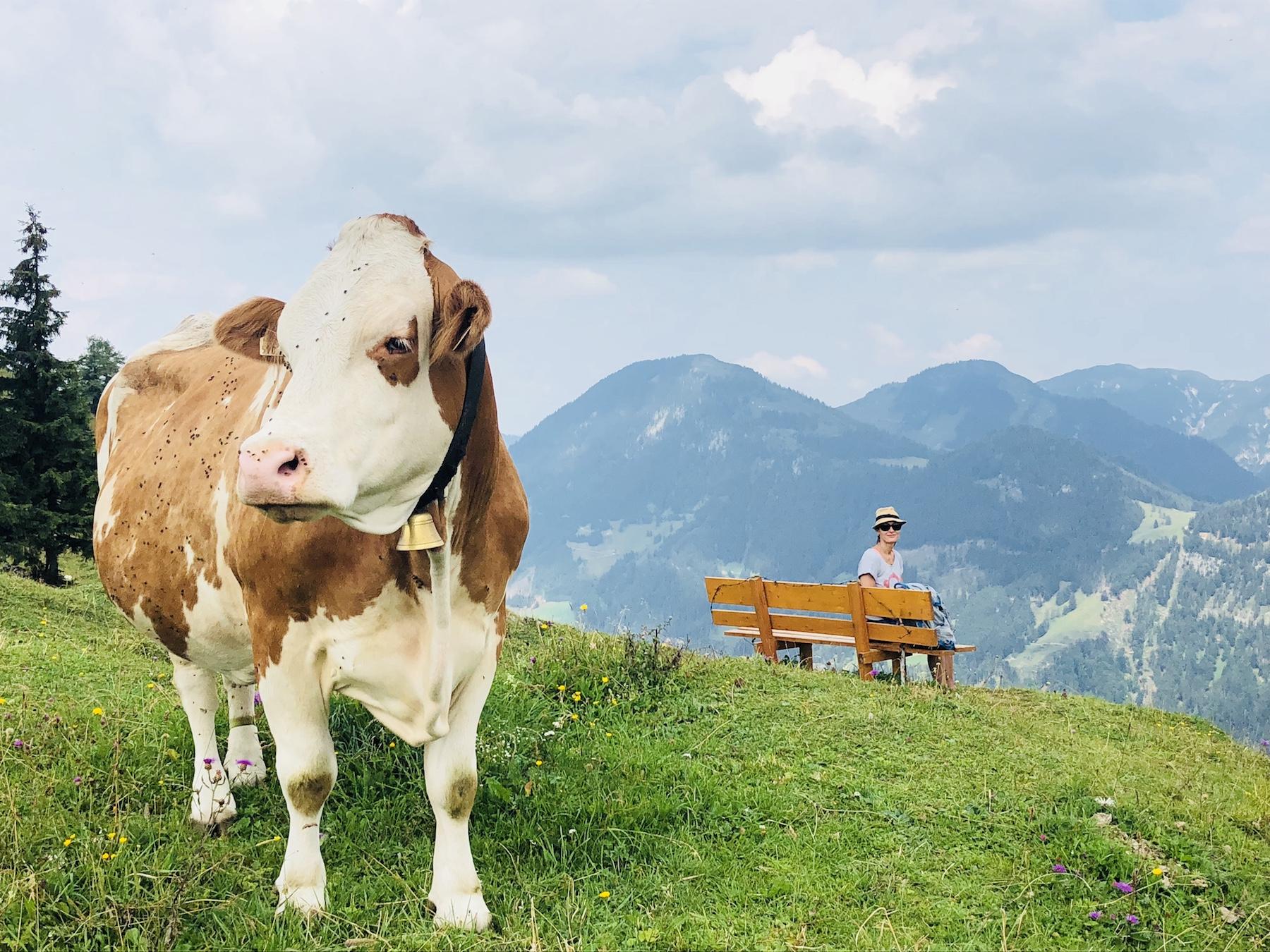 Kuh auf einer Bergwiese im Vordergrund, im Hintergrund eine Frau auf einer Bank sitzend, den Ausblick genießend, Tirol, Österreich
