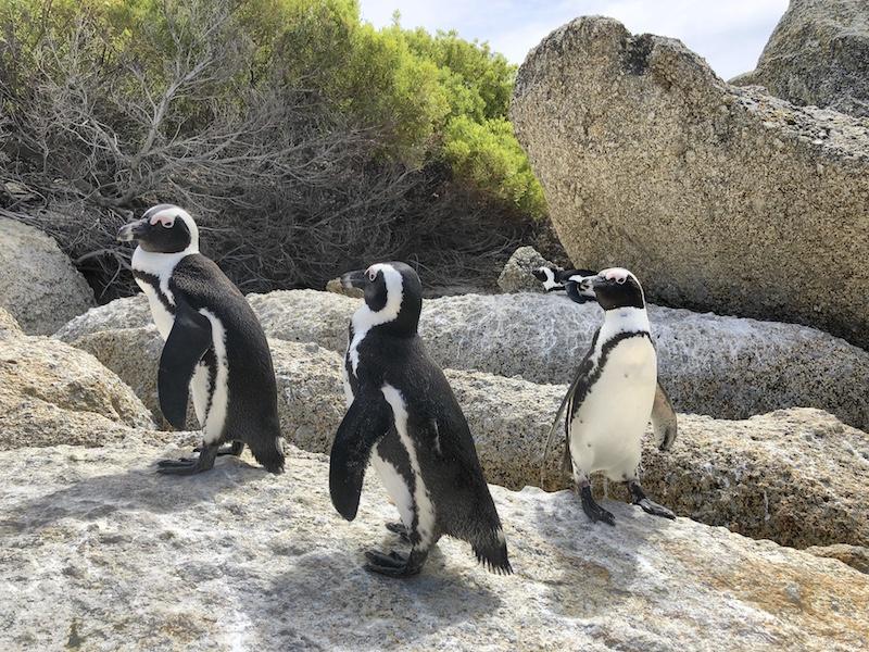 Kapstadt Tipps, Boulders Beach Pinguine